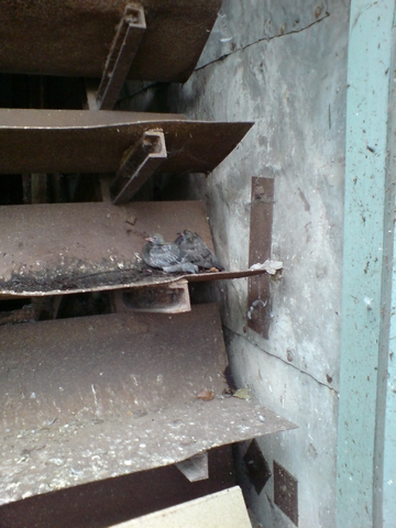 Nesting feral pigeons 1