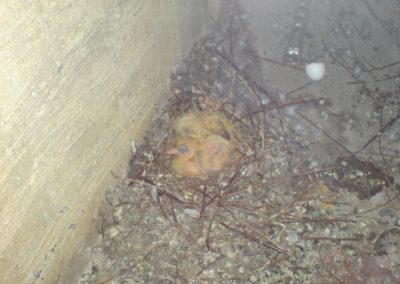 Nesting feral pigeons 4