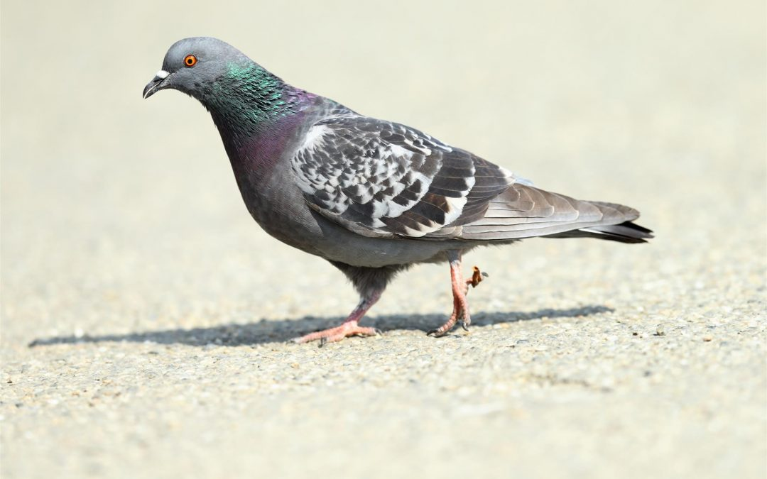 Pigeon Problems You May Face Throughout 2019