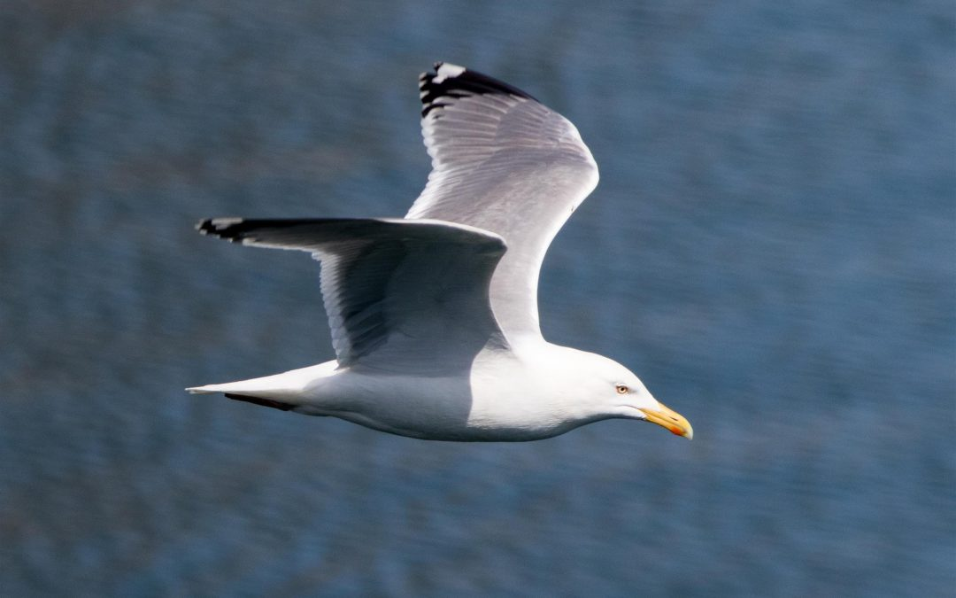 Our Top Tips for Gull Control